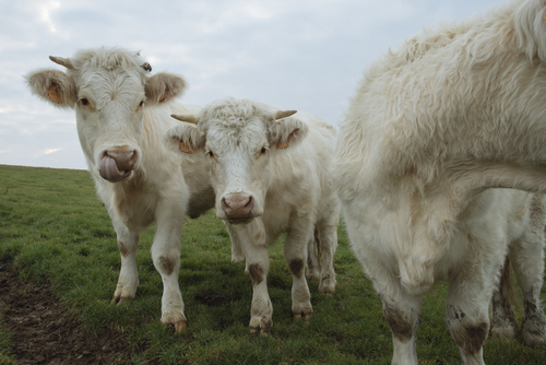 Most cattle today in industrial farming practices are fed grains